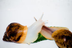 Snails with green cucumber royalty free stock images