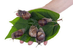 Snails in hand concept Royalty Free Stock Photography
