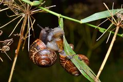 The snails hanging on a grass Royalty Free Stock Photos