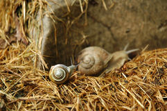 Snails on a hay Royalty Free Stock Images