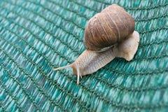 Snails (Helix pomatia) Royalty Free Stock Images