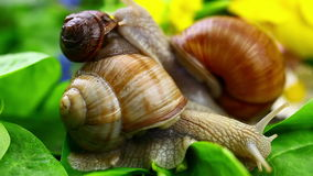 Snails-Helix pomatia stock video footage