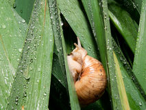 Snails (Helix pomatia) rain Royalty Free Stock Photos