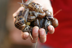 Snails. Image of a hand full of snails taken in welwyn garden city, england Royalty Free Stock Photography