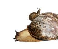 Snails. Isolated on white background Royalty Free Stock Photo