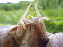 Snails kiss Royalty Free Stock Image