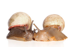 Snails kissing on a white background Royalty Free Stock Photography