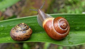 Snails on a leaf Royalty Free Stock Image