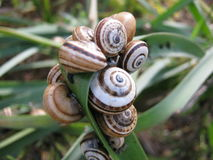 Snails on a Leaf Royalty Free Stock Photos