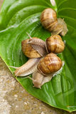 Snails on leaf Royalty Free Stock Photo