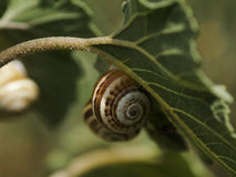 Snails on a leaf Royalty Free Stock Images