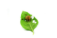 Snails on leaves Stock Image