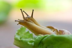 Snails on lettuce Stock Image