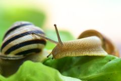 Snails on lettuce Royalty Free Stock Image
