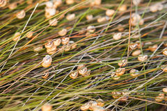 Snails. A lot of snails hanging from the tip of the grass field Royalty Free Stock Photography