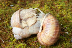 Snails in love Stock Photos