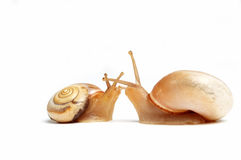 Snails in love. Two cute snails ,kissing on white background Stock Photos