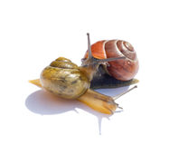 Snails in love. Couple snails in love on white board Stock Image