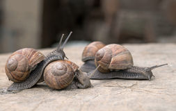 Snails in love Stock Image