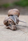 Snails in love Stock Images