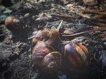 Snails love to gather in groups, spring outside. Wallpaper background royalty free stock image