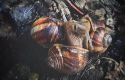 Snails love to gather in groups, spring outside. Wallpaper background stock image