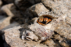 Snails ma. A shell crabs have no shell of a snail borrow dead creep into dwelling Royalty Free Stock Images