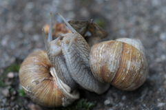 Snails making love Stock Photo