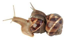 Snails Mating Royalty Free Stock Photos