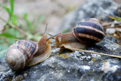Snails meeting and greeting each other Royalty Free Stock Image