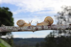 Snails meeting in the middle of a branch Stock Photos