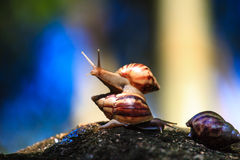 Snails in nature Royalty Free Stock Images