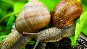 Snails near green leaves. And meadow flowers episode 13 stock footage