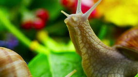 Snails near green leaves stock footage
