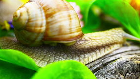 Snails near green leaves stock video