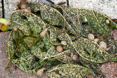 Snails on papaya leaf Royalty Free Stock Photography
