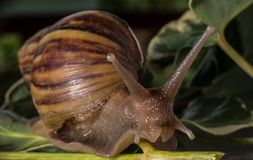 Close up snail walking on the leaves stock photography