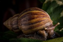 Close up snail walking on the leaves stock images