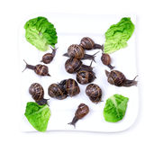 Snails on plate. Uncooked snails on plate with green lettuce royalty free stock images