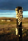 Snails on a post. Snails clustered together on a fencing post Royalty Free Stock Photography