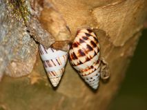 Snails in Puerto Rico Royalty Free Stock Photography