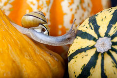 Snails and Pumpkins Stock Images