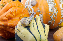 Snails and Pumpkins Royalty Free Stock Photo