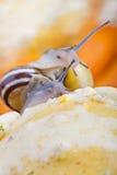 Snails and Pumpkins Royalty Free Stock Photos