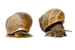 Snails Race Isolated Studio Shot Royalty Free Stock Image