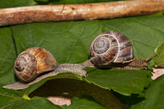 Snails on a race Stock Image