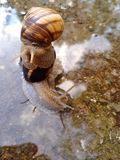 Snails after rain Royalty Free Stock Images