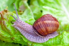 Snails after a rain on wet leaves Royalty Free Stock Images