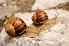 Snails on a rock. Two snails moving side by side on a bare rock Stock Photos