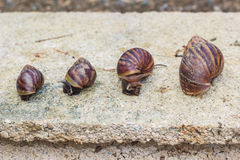Snails on rock Stock Photography